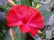 Wunderblume Rot 10 frische Samen