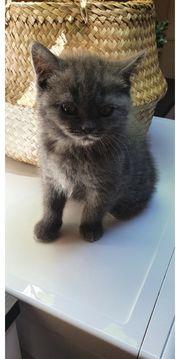 2 Britishkurzhaar Weibchen kitten ABHOLBEREIT