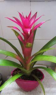 Zimmerpflanze - Bromelia Orchideen Blattgrünpflanze große