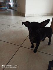 1 Chihuahua Rüde sucht noch