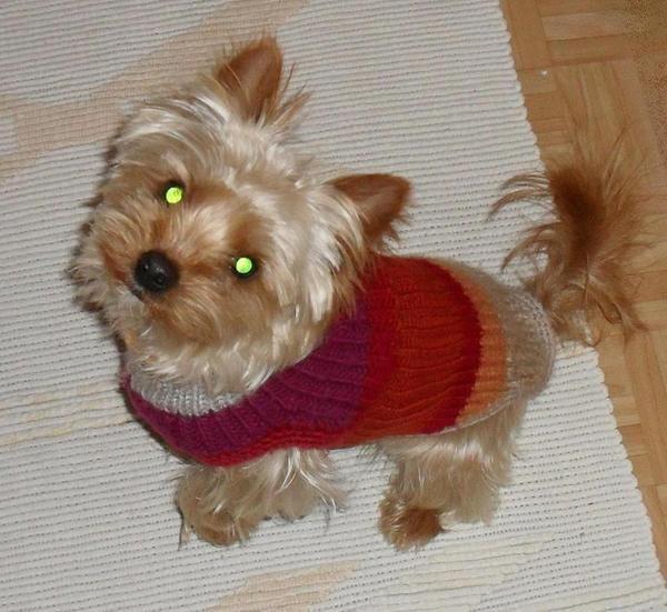 Golden Yorkshire Terrier Deckrüde KEIN