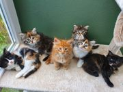 Maine Coon Kitten mehrfarbig