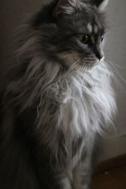 Edle Maine Coon,