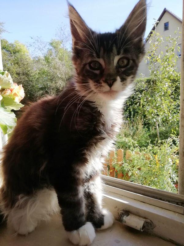 Maine Coon Kittenmädchen mit Stammbaum