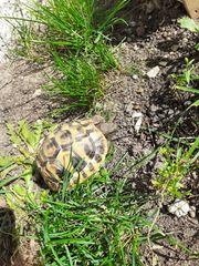 Griechische Landschildkröte Schildkröte Testudo Hermanni