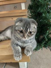 Scottish Fold Katze 8 Monate