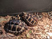 Griechische Landschildkröten NZ 2020