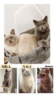 BKH Wunderschöne Kitten