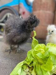 zwei Seidenhühner jung