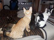 Bkh Mix Kätzchen abzugeben sozialisiert