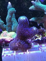 Meerwasser Korallen SPS Montipora Digitata