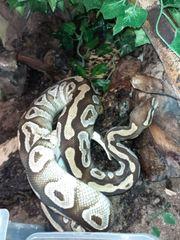 0 1 Mojave Python regius