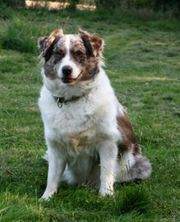 Wurfplanung Wurfankündigung Australian Shepherd