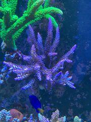 Acropora Ableger - Korallen SPS