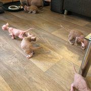 Don Sphinx Katzenbabys