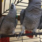 Grauer Papageienhahn vom Sommer 2016