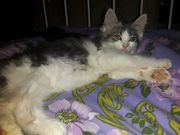 Suche Maine Coon Mix Kater