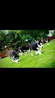 Reinrassige Siberian Husky Welpen mit