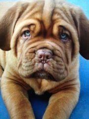Bordeaux Doggen Welpen suchen noch