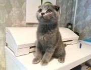 Scottish Fold männlich Kitten Blau