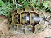 Maurische Landschildkröte männlich von 2007