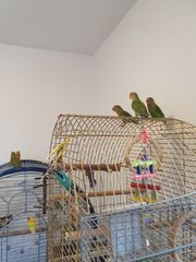 Vögel Rosenköpfchen