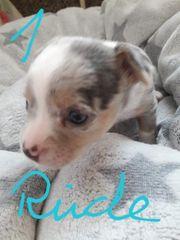 3 Chihuahua Rüden und eine