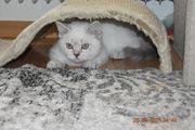 Bkh Scottisch fold Kitten abgabebereit