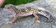 Suche junges Leopardgeckomännchen