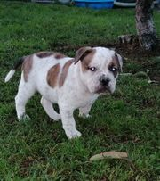 Old English Bulldog- Welpen