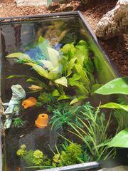 Grüne Wasseragame männchen