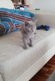 Verkaufe Britisch Kurzhaarige BKH Katzen