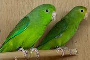 Grünbürzel Sperlingspapageien Wildfarben Paar