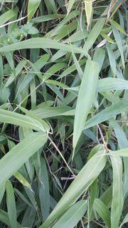 Zuckerhutfichte Flieder Heckenpflanzen Pseudeosasa japonica