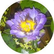 Nymphaea Indian Goddess tropische blaue