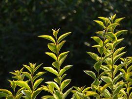 5 Stück *Goldliguster* Ligustrum ovalifolium Aureum