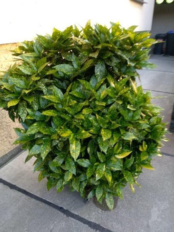 Blattpflanze