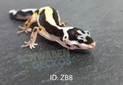 Leopardgeckos Zorro Bandit Bold Stripe