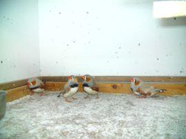 Vögel - Zebrafinken
