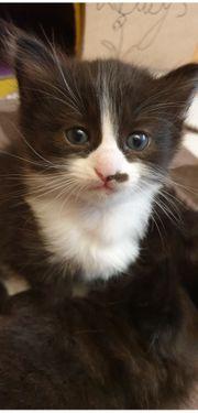 5 hl birma waldkatzen kitten