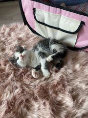 extrem verschmusste kitten von Handaufzucht