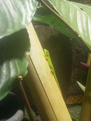 Phelsuma grandis - Madagaskar Taggecko