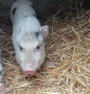 Minischweineber abzugeben