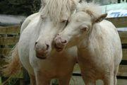 2 Shetland Original Ponystuten in
