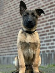Wunderbare FCI Malinois Welpen - KNPV