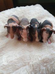 Skinny Pig Babys