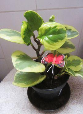 Zimmerpflanzen Aloe Vera Pepperonia Philodendron: Kleinanzeigen aus München Schwabing-West - Rubrik Pflanzen