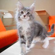 Yesmie- Maine Coon kitten