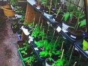 Gemüsepflanzen selbstgezogen