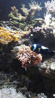 Sattel Anemonen Fische Paar